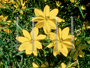 Picture of Coreopsis verticillata 'Golden Showers'