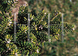 Picture of Abies koreana 'Compact Dwarf'