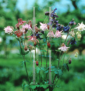 Picture of Aquilegia vulgaris 'Grandmother's Garden'