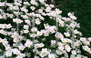 Picture of Nierembergia hippomanica 'Mont Blanc'