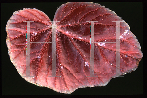 Picture of Begonia spp.