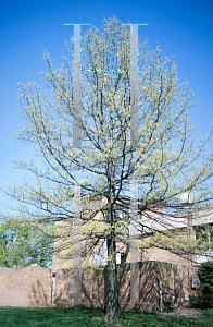 Picture of Acer saccharinum