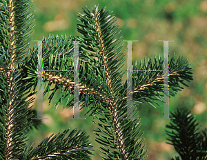 Picture of Abies cephalonica