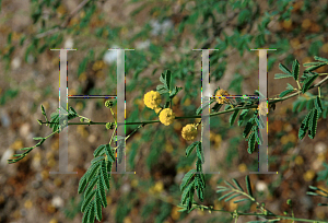 Picture of Acacia nilotica