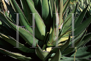 Picture of Agave shawii ssp. shawii