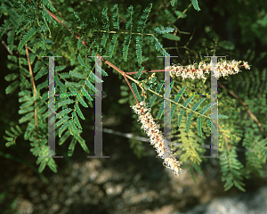 Picture of Mimosa dysocarpa