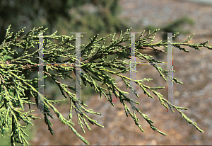 Picture of Juniperus californica