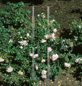 Picture of Rosa  'Queen Margrethe'