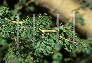 Picture of Acacia albida