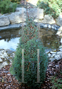 Picture of Chamaecyparis thyoides 'Conica'