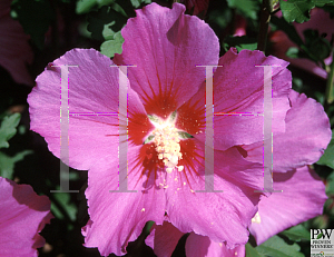 Picture of Hibiscus syriacus 'Floru(Violet Satin®)'