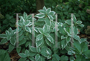 Picture of Hydrangea macrophylla 'Variegata'