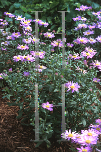 Picture of Aster x frikartii 'Flora's Delight'