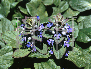 Picture of Ajuga  'Tropic King'