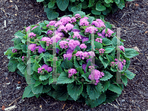 Picture of Ageratum houstonianum 'True Blue'