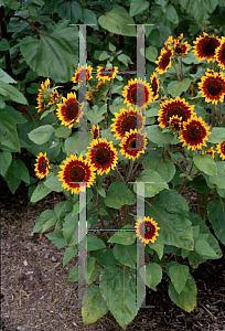 Picture of Helianthus annuus 'Ring of Fire'