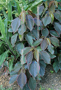 Picture of Acalypha wilkesiana 'Obovata'