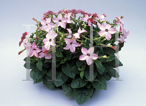 Picture of Nicotiana alata 'Avalon Bright Pink'