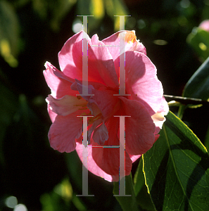 Picture of Camellia japonica 'Coral Pink Lotus'