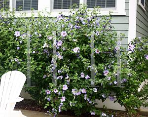 Horticopia Hibiscus Syriacus Dvpazurri Azurri Blue Satin