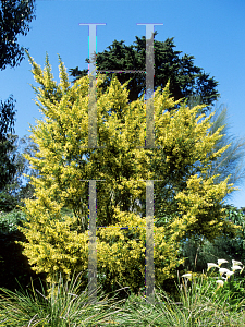 Picture of Acacia verticillata