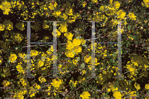 Picture of Hibbertia empetrifolia