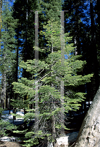 Picture of Abies magnifica