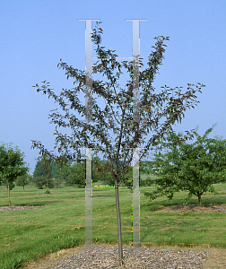 Picture of Malus  'Branzam'