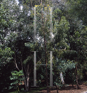Picture of Acacia implexa