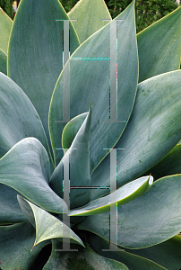 Picture of Agave attenuata