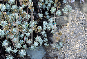 Picture of Dudleya campanulata