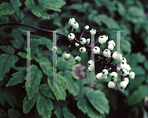 Picture of Actaea pachypoda