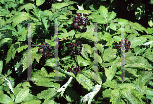 Picture of Actaea erythrocarpa