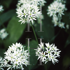 Picture of Allium neapolitanum