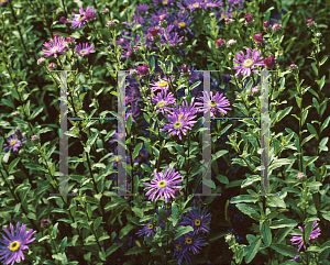 Picture of Aster amellus 'Nocturne'