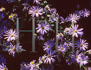 Picture of Aster thomsonii 'Nanus'