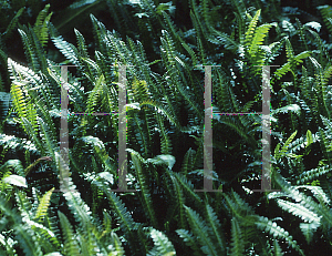 Picture of Blechnum penna-marina