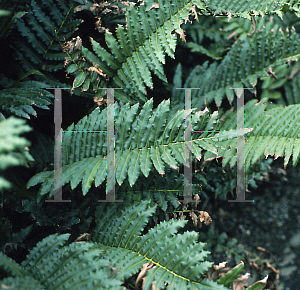Picture of Blechnum tabulare