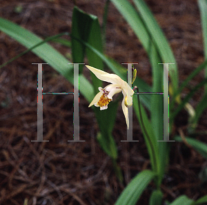 Picture of Bletilla ochracea