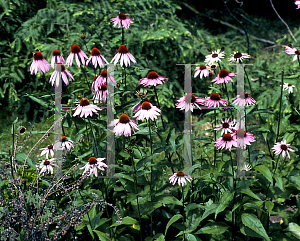 Picture of Echinacea purpurea 'Moench'