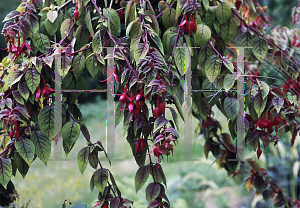 Picture of Fuchsia x 'Autumnalis'