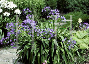Picture of Agapanthus  'Headbourne hybrids'