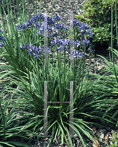 Picture of Agapanthus  'Lilliput'
