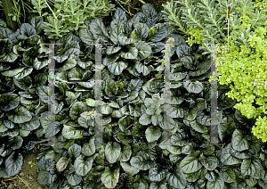 Picture of Ajuga reptans 'Catlin's Giant'