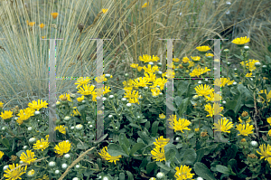 Picture of Grindelia stricta ssp. venulosa