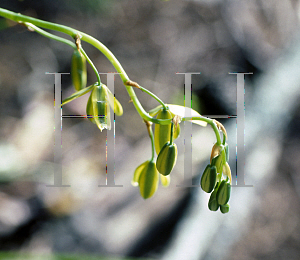 Picture of Albuca canadensis