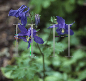 Picture of Aquilegia alpina