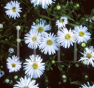 Picture of Aster x 'Kristina'