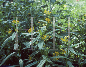 Picture of Asclepias curassavica 'Silky Gold'