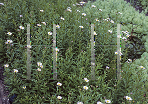 Picture of Boltonia asteroides var. latisquama 'Nana'